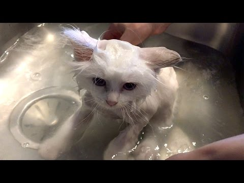Ragdoll kitten takes his first bath – Mozzarella gets wet!