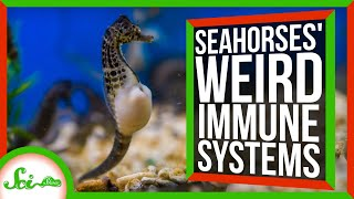 Seahorse Pregnancies Could Help us Treat HIV