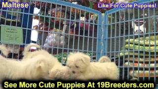 Maltese, Puppies , For, Sale, In Staten Island, New York, Ny, Brooklyn, County, Borough