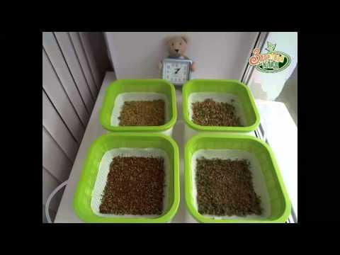 Проращивание пшеницы Житница здоровья в проращиватиле Здоровья Клад
