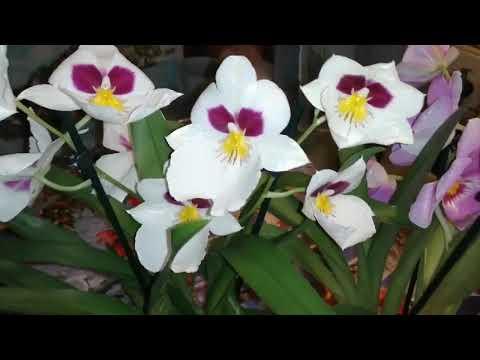 Орхидея мильтония уход в домашних условиях видео