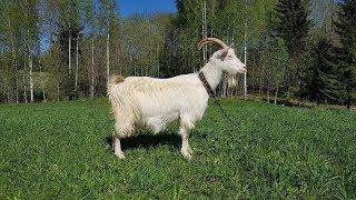 Коза, первый опыт. Покупка козы и впечатления.