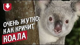 Жуть! Как кричат коалы