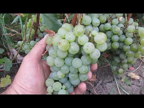 Винный виноград Цитронный Магарача