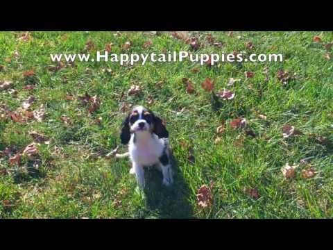 Cavalier King Charles Spaniel Puppies For Sale In Raleigh NC
