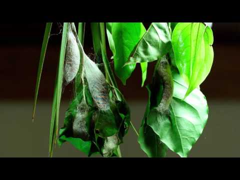 Rothschildia arethusa, caterpillars building the cocoon (pt2) HD