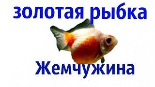 Аквариумные рыбки.Золотая рыбка Жемчужина.
