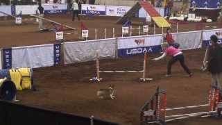 Pembroke Welsh Corgi Bella 2013 National Agility Steeplechase Semi-finals Murfreesboro, Tn