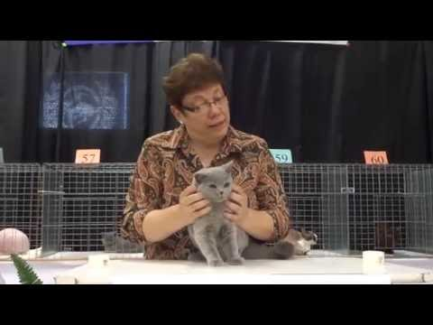 Blue British Shorthair kitten at a cat show