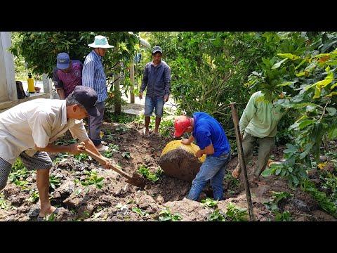 Xem cách bứng mai vàng tại vườn   bonsai can tho