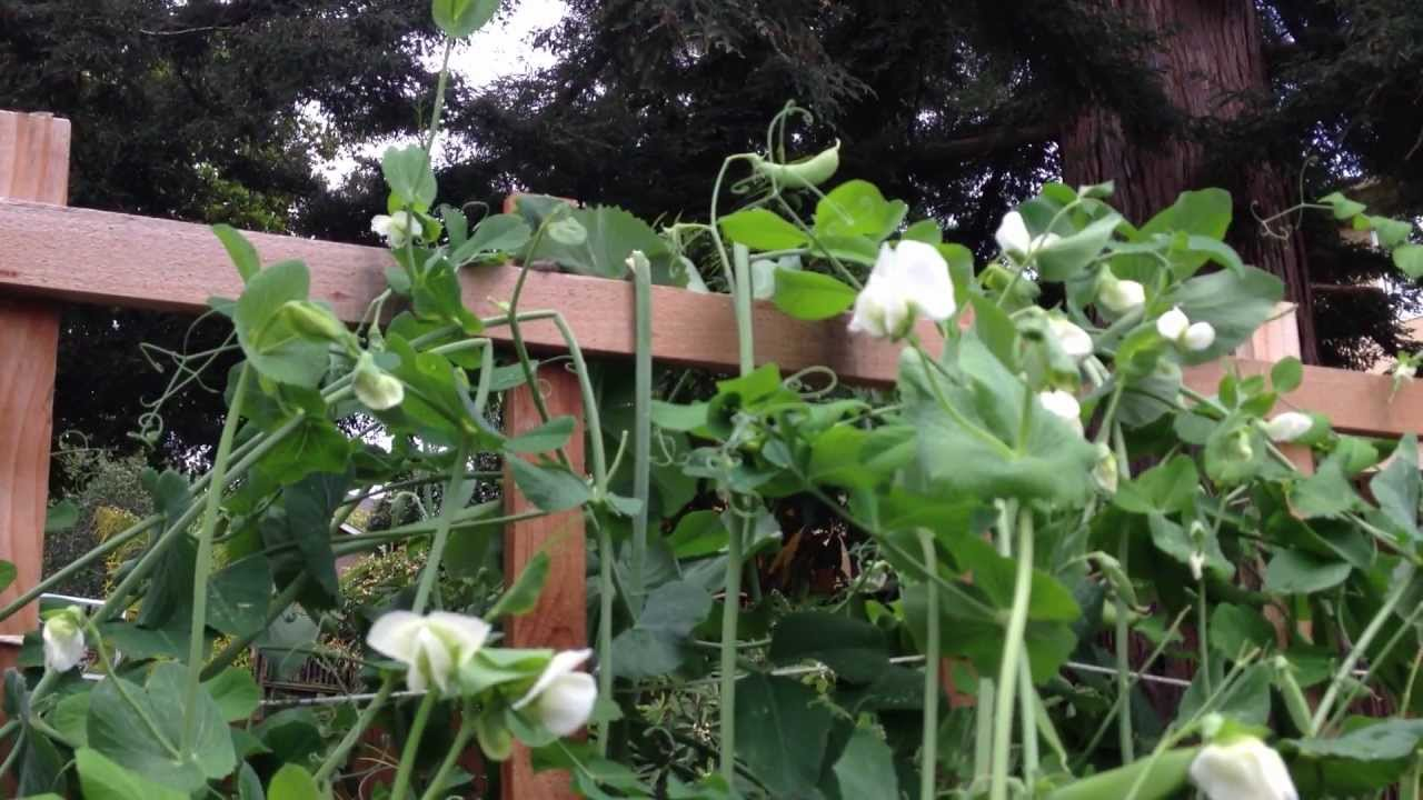 How To Build And Utilize A Trellis For Sugar Snap Peas