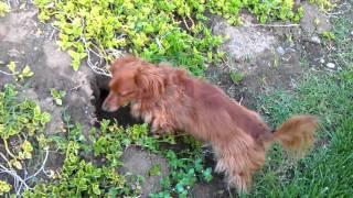 Cute Long Haired Mini Dachshund Hunting Gophers
