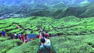 tea farm - ladang teh - cameron highland - malaysia - dji osmo