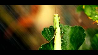 Nature - Mante religieuse (Full HD)