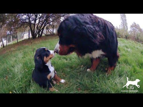 😍 Le Bouvier Bernois un chien affectueux et cajoleur avec les bébés des autres ❤️