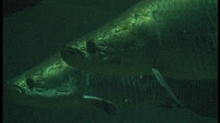 Training the arapaima fish at ZSL London Zoo aquarium