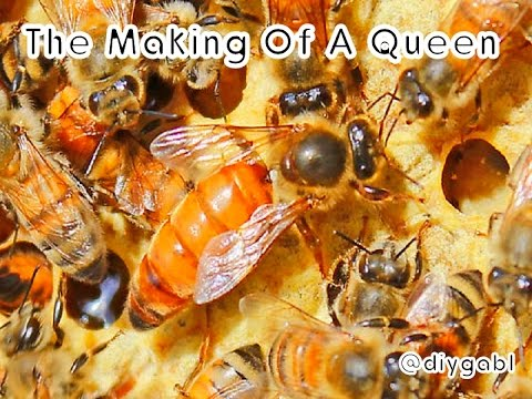 the-life-cycle-of-the-honey-bee-queen-(the-making-of-a-queen)