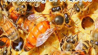 The Life Cycle of The Honey Bee Queen (The Making of a Queen)