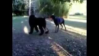Boris The Black Russian Terrier Meets Booker The Doberman Pincher (music By Cyber Wolf Clan)