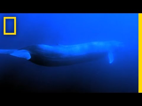 Barnaby the Blue Whale