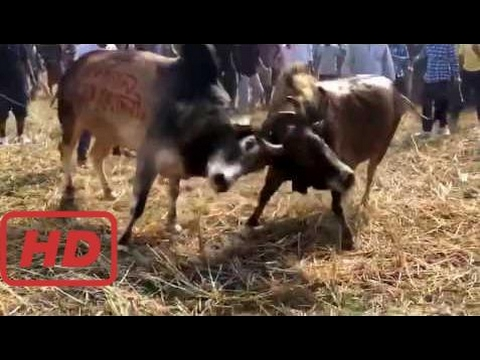 wild animals Bangladesh bullfight Banglar Bullet (Internet ) vs full 2
