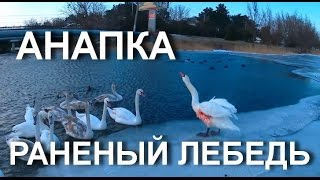 АНАПА  РАНЕНЫЙ ЛЕБЕДЬ на Анапке. Кормим лебедей. 30 января 2017 года