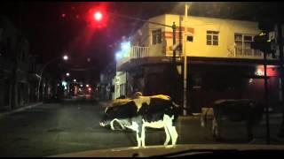 Vacas en Ciudad Guzmán, una noche cualquiera !