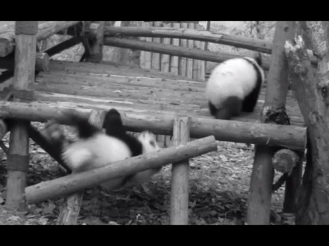 Fallo grave: La dura vida diaria de los osos panda en un criadero de Chengdú (China)