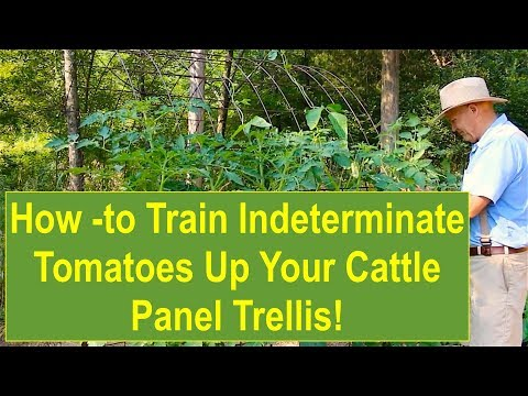 Tips and Ideas on How-to Train Indeterminate Tomato Plants Up Your Cattle Panel Trellis