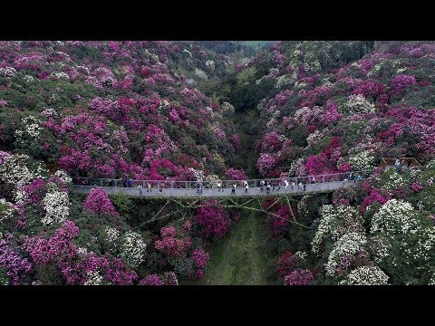 Spring scenes add colorful charm to Guizhou