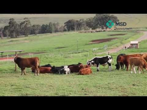 MSD Animal Health Cattle treatment techniques