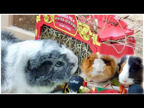 Guinea Pigs Going to the Circus | HayPigs Unboxing