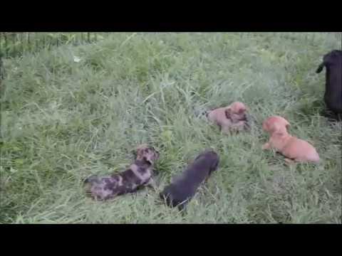 Tweenie dachshund pups