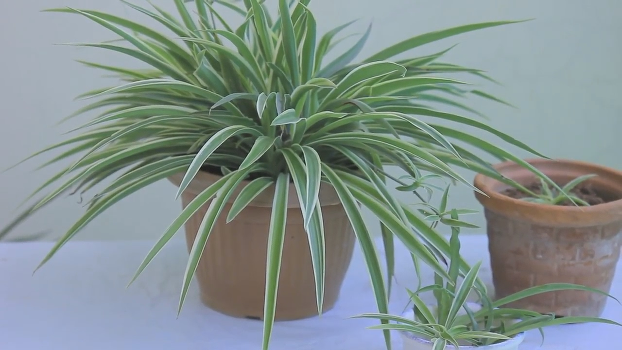 growing spider plants how to take care of spider plants in easy manner urdu hindi youtube. Black Bedroom Furniture Sets. Home Design Ideas