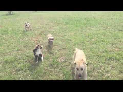 Charlottesville Off Leash Dog Training - 4 dogs offleash