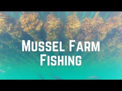 Coromandel Mussel Farm Kayak Fishing | Snapper, Kingfish & Kahawai | January 2018