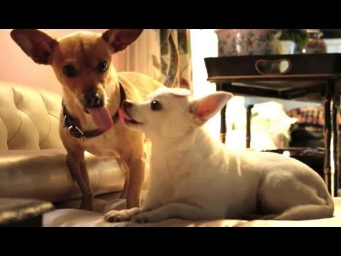 beverly chihuahua beverly hills chihuahua 3 trailer youtube 5394
