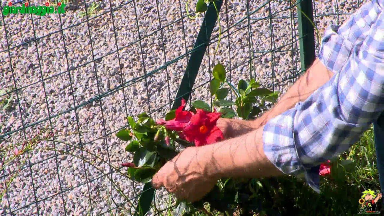 Dipladenia doovi for Sundaville coltivazione