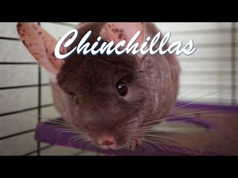 Chinchilla Care - Requested