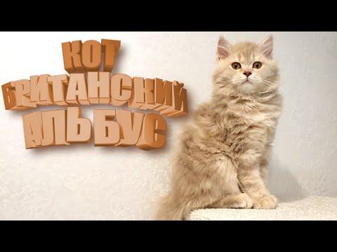 Британский длинношерстный кот Альбус: 4 месяца