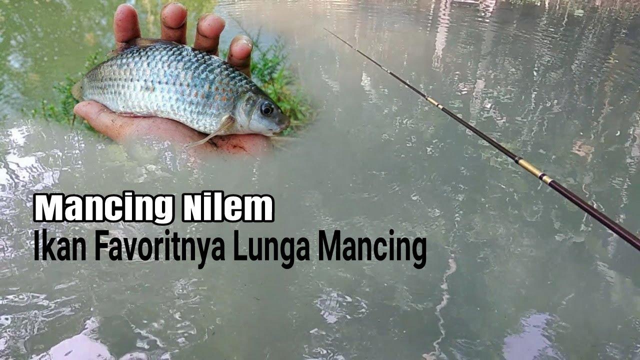Mancing Nilem Ikan Favorit Bro Aris Lunga Mancing Youtube
