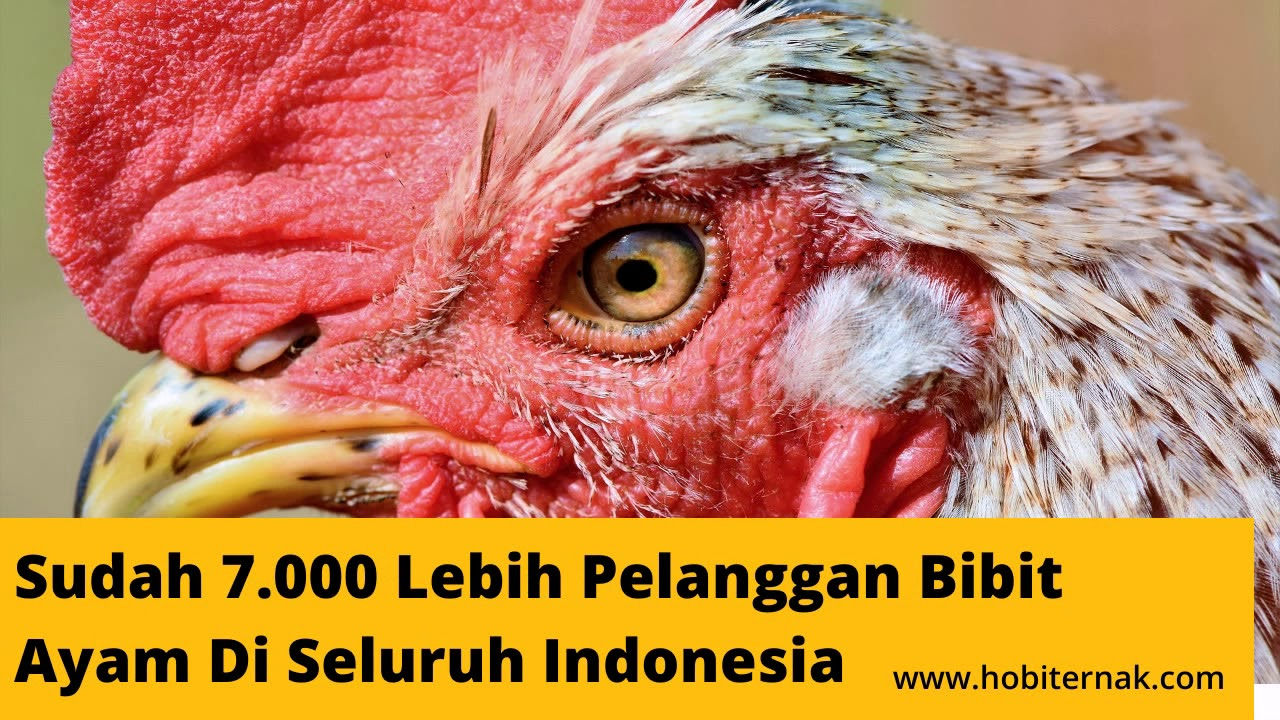 0821 3453 6124 Jual Harga Bibit Ayam Kampung, Arab ...