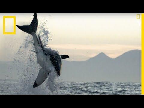 Ce grand requin blanc attaque une otarie enceinte