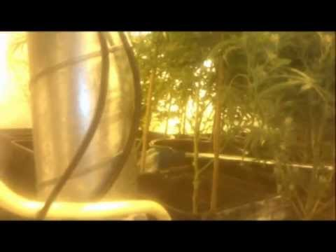 Growing 175x Power Plant (PP) Marijuana/Cannabis
