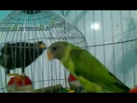 chim vet thai lan