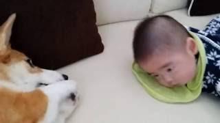 かわいすぎる2ショット!うつぶせの赤ちゃんを応援するコーギー