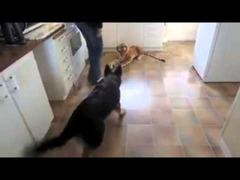 German Shepherd scared of Stuffed Toy Tiger. Very Funny! (ORIGINAL VIDEO & VERSION))