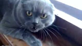 Британская кошка злится и очень сильно Бойтесь меня