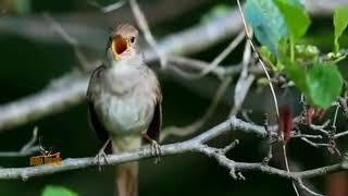Edan  !! Kicau Burung Sikatan Londo Nembak Bersuara Kristal Sangat Merdu