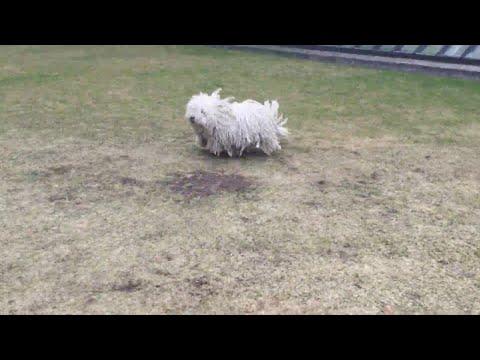 Mumford the Mop Dog || ViralHog